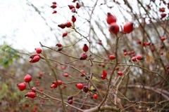 Sluit omhoog mening van rode rozebottel Behang voor aard Waterdalingen die van rozebottelsboom druipen De achtergrond van de dekk stock foto