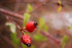 Sluit omhoog mening van rode rozebottel Behang voor aard Waterdalingen die van rozebottelsboom druipen De achtergrond van de dekk stock foto's