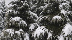 Sluit omhoog mening van sneeuw die bij de sparrentakken vallen Sneeuwdalingen van de tak van de pijnboomboom in een bos stock video