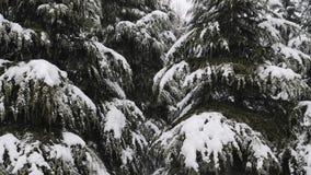 Sluit omhoog mening van sneeuw die bij de sparrentakken vallen Sneeuwdalingen van de tak van de pijnboomboom in een bos stock videobeelden