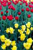 Sluit omhoog mening van tulp in de tuin Royalty-vrije Stock Foto's