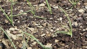 Sluit omhoog mening van verse groene die ui in de grond wordt geplant stock video