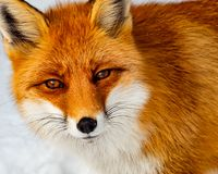 Sluit omhoog mening van wilde vos in de sneeuw Stock Foto's