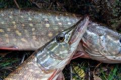 Sluit omhoog mening van zoetwatersnoekenvissen ligt op schepnet met visserijvangst daarin stock afbeelding