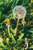 Sluit omhoog meningspaardebloemen in gras royalty-vrije stock foto's