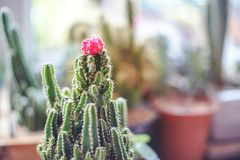 Sluit omhoog miniruby ball cactus moon cactus met vage achtergrond royalty-vrije stock afbeelding