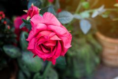Sluit omhoog mooi rood rozenboeket tegen groene onduidelijk beeldachtergrond voor van de valentijnskaartdag en liefde thema stock afbeelding