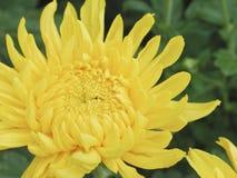 Sluit omhoog mooie bloeiende chrysantenbloemen met groene bladeren in de tuin Royalty-vrije Stock Foto's