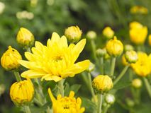 Sluit omhoog mooie bloeiende chrysantenbloemen met groene bladeren in de tuin Royalty-vrije Stock Fotografie
