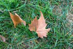 Sluit omhoog mooie de herfstbladeren op groen gras als voorgrond stock foto's