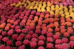 Sluit omhoog mooie en kleurrijke cactus Stock Foto