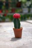 Sluit omhoog mooie en kleurrijke cactus Royalty-vrije Stock Foto's