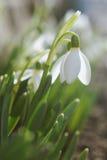 Sluit omhoog mooie het bloeien sneeuwklokjes Stock Afbeeldingen