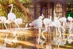 Sluit omhoog Mooie moeras heldere vogel - het lopen roze flamingo's in het dierentuinvogelhuis Flamingoes is een type van het wad stock fotografie