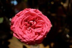 Sluit omhoog mooie rode rozenbloesem met donkere achtergrond royalty-vrije stock fotografie