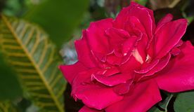Sluit omhoog Mooie Roze Beklimmende Rose Isolated op Achtergrond stock foto's