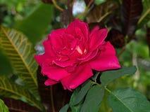 Sluit omhoog Mooie Roze Beklimmende Rose Isolated op Achtergrond stock afbeeldingen