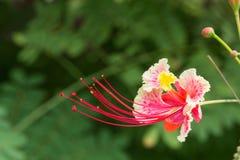 Sluit omhoog mooie roze flamboyant bloem op groene achtergrond royalty-vrije stock fotografie