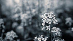 Sluit omhoog mosterdbloem met zwart-witte kleur royalty-vrije stock foto's