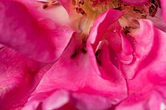 Sluit omhoog, nam, waterdaling op bloemblaadje, roze toe, binnen, samenvatting Royalty-vrije Stock Fotografie