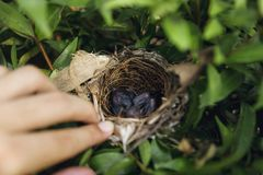 Sluit omhoog nieuwe babyvogels, - geboren babyvogel in nest stock afbeelding
