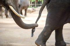 Sluit omhoog olifantsboomstam houdend de staart van een andere olifant Royalty-vrije Stock Foto