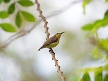 Sluit omhoog olijf-Gesteund die Sunbird op Tak wordt neergestreken op Achtergrond wordt geïsoleerd royalty-vrije stock fotografie