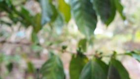 Sluit omhoog onrijpe koffiebonen in koffietakken, biologische landbouwinstallaties in Azië, groene onrijpe koffiebonen op boom stock video