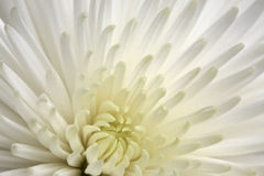 Witte Chrysant Royalty-vrije Stock Fotografie
