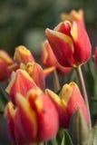Sluit omhoog ontsproten van rode gele tulp stock afbeeldingen