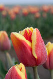 Sluit omhoog ontsproten van rode gele tulp 2 royalty-vrije stock foto
