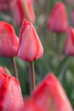 Sluit omhoog ontsproten van tulp royalty-vrije stock fotografie