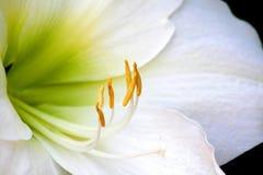 Sluit omhoog Ontsproten van Witte Bloem Lilly Royalty-vrije Stock Afbeeldingen