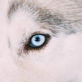 Sluit omhoog op Blauw Oog van Husky Puppy Dog royalty-vrije stock fotografie