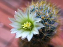 Sluit omhoog op cactusbloem Royalty-vrije Stock Fotografie
