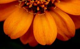 Sluit omhoog op de bloem van Zinnia in de Mississippi Juni stock fotografie