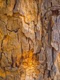 Sluit omhoog op de schors van boomachtergrond en textuur Stock Afbeeldingen