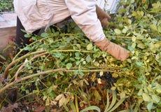 Sluit omhoog op de Winterbescherming voor Tuinrozen Bush Hoe te om het beklimmen van rozen voor te bereiden voor de winterschuilp Stock Foto's