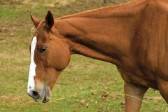 Sluit omhoog op een bruin paard met witte strook stock foto's
