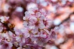 Sluit omhoog op een cluster van roze pruimbloesems royalty-vrije stock afbeelding