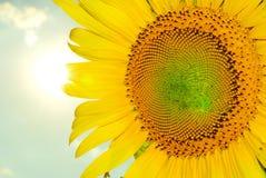 Sluit omhoog op een freshy zonnebloem Stock Afbeeldingen