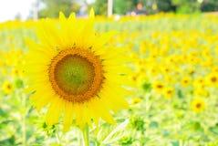 Sluit omhoog op een zonnebloem op zonnebloemgebied Stock Fotografie