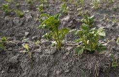 Sluit omhoog op een installatie van aardappel op een groen gebied van aardappelgewassen op een rij Landbouw growing Organisch nat royalty-vrije stock foto