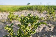 Sluit omhoog op een installatie van aardappel op een groen gebied van aardappelgewassen op een rij Landbouw growing Organisch nat stock foto's