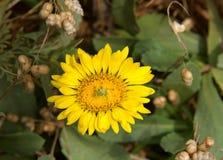 Sluit omhoog op een kleine gele bloem van het gerberamadeliefje met geel centrum stock fotografie