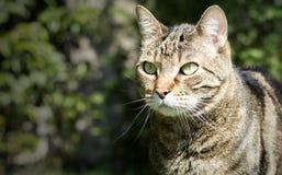 Sluit omhoog op een leuke Europese kattensnuit in de tuin Royalty-vrije Stock Afbeeldingen