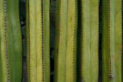 Sluit omhoog op een muur van cactus Stock Fotografie