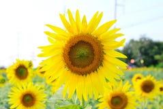 Sluit omhoog op een zonnebloem op zonnebloemgebied Royalty-vrije Stock Foto's