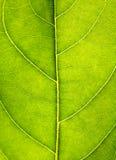 Sluit omhoog op groene bladtextuur Macro de meningsachtergrond van bladaders Royalty-vrije Stock Fotografie