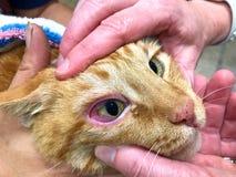 Sluit omhoog op Oranje Tabby Cat-gezicht die door veelvoudige handen worden gehouden trauma aan oog te beoordelen stock afbeelding